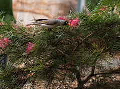 CCE_1930-Edit.jpg (carlopinarello) Tags: zoom songbird d800e nl200500 mtcootthagardens bird nikon200500mmf56 queensland qld