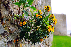 Yellow flowers in the roman wall, Portchester Castle (Andrey Sulitskiy) Tags: uk england portchester hampshire
