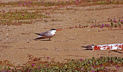 Parent and Juvenile (F.emme) Tags: terns birds bolsachica bolsachicaecologicalreserve bolsachicawetlands wetlands shorebirds negativespace