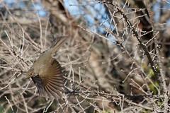 IMG_6479 Flying away from the tree (Rodolfo Frino) Tags: zorzal ave pajaro argentinianbird pajaroargentino beautifulbird mediumsizebird friendlybird pararoamigable singing singingbird beautifulsinging rodolfo frino