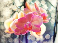 Diamond Orchid (Silke Klimesch) Tags: pink orange sun orchid flower macro berlin fleur rain 50mm soleil dof bokeh pluie olympus 100mm diamond depthoffield sparkle raindrops orchidee blume makro sonne zuiko regen omd orchide schrfentiefe diamant glistening regentropfen scintillement mft glitzern em5 profondeurdechamp colorefexpro gouttedepluie zuikoom microfourthirds nikcollection ommcautos50mmf14