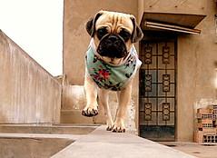 Runway (L Photographer) Tags: pug perro pasarela runway mascota airelibre