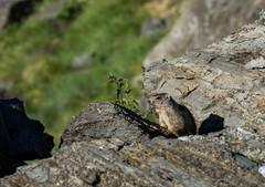 Marmotte des Alpes (JeanJoachim) Tags: rodentia sciuridae marmottamarmotta smcpentaxda300mmf4edifsdm marmottedesalpes pentaxk5iis