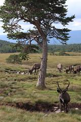 Reindeer herd (janalauri) Tags: reindeer scotland highlands cairngorms nature wildlife tree rentier herd herde berge mountains tiere