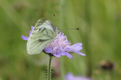 Rapsfjäril 'Pieris napi' (På upptäcktsfärd i naturen) Tags: blåberga 2016 juli rapsfjäril pierisnapi äktadagfjärilar papilionoidea pieridae vitfjärilar äktavitfjärilar pierinae pierini pieris
