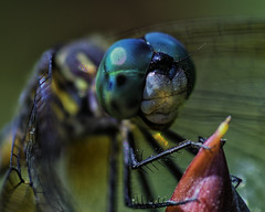 DragonFly_SAF9601-2 (sara97) Tags: copyright2016saraannefinke dragonfly flyinginsect insect missouri mosquitohawk nature odonata outdoors photobysaraannefinke predator saintlouis towergrovepark urbanpark