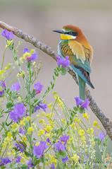 Flores y colores (Dani (Atrus)) Tags: abejarucocomn abejarucoeuropeo abejaruco meropsapiaster europeanbeeeater jdanielfernndez elrincndelosprotegidos espaa spain aves birds fauna naturaleza