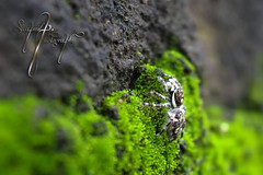 spider (swapnilpatil2503) Tags: spider micro moss green nikon d5300 1855mm black photography blur white