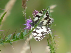 x P2470640c Marbled White, iii) .. on Purple Thistles..front 'garden' (!!) . (Erniebobble *~* HappyHolyWeek2018! *~*) Tags: erniebobble 2016 nature newforest wildlifegarden garden butterfly butterflies lepidotera wildlife creature insect inspiring balance environment summer season springwatch chrispackham unsprung portrait delicate detail wings illuminating study peaceful gentle ephemeral fleeting floating suspended sunny weather colours painting pattern art metamorphosis textural tranquil transition restful resting feeding edge focus blur pollination bbc bct gardenersworld montydon perched background bright beauty imagination blackandwhite bw black white thistle green purple plant flower nectar grass spikes weeds prickly pointed sharp meadow