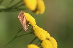 Tiny pink butterfly (liisatuulia) Tags: porkkala pietaryrtti tanacetumvulgare yellow pink