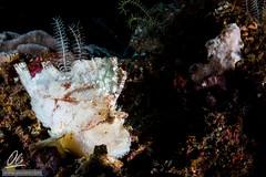 Leaffish on reef (Alessandro Cer) Tags: scorpionfishscorpaenidae underwater leafscorpionfishtaenianotustriacanthus bali joesgonediving fishes candidasa gilimimpang indonesia bonyfishesosteichthyes reef paperfish manggis id