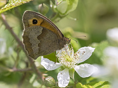 Meadow Brown butterfly (sivaD nhoJ) Tags: butterfly meadowbrown maniolajurtina arthropod insect invertebrate animal nature wildlife macro 2016
