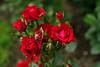 Roosid (Jaan Keinaste) Tags: pentax k3 pentaxk3 eesti estonia lill flower roos rose punane red