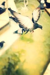 The thirsty pigeon on fountain #Balkesir (alptekin_md) Tags: freedom zgrlk ku umak fly water su fountain thirsty pigeon eme gvercin