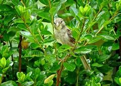 House Sparrow Hiding in a Bush (--Anne--) Tags: housesparrow sparrows sparrow bird birds photography nature wildlife animals