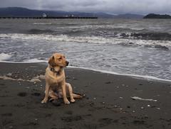 Bella Petone (Wozza_NZ) Tags: petone dog walk wellington lowerhutt nz newzealand labrador lab spanador