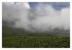 ( Explore ) Within nature lies the cure for humanity (www.amudhahariharan.com) Tags: kolukkumalai tea estate moonar munnar trekking morning mist amudhahariharan landscape travel