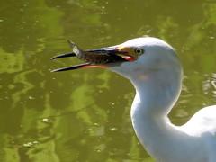 Snowy Egret (Egretta thula) dining on Northern Snakehead (Michael Rosengarten) Tags: birds egrets