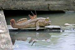 یک نوع ماهی عجیب که به جای آب، روی درخت زندگی می کند (وبگردی) Tags: ماهی ماهیدوزیست