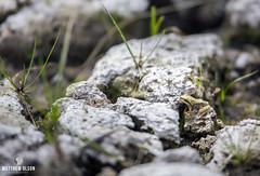 Peep (matthewolsonphoto.com) Tags: frog pacifictreefrog amphibian santiampass lostlake wildlife tiny micro ribbit
