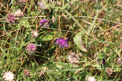Blurred Lulworth Skipper on Knapweed (DaveB4) Tags: durlston wildlife flora fauna blue