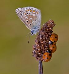 Common Blue, Ladybirds - Polyommatus icarus , Coccinella Septempunctata (Ivan Lynas Nature Photography) Tags: