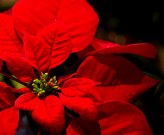 Poinsettia (Pauline Brock) Tags: christmas red flower nature floral festive holidays december poinsettia redandblack redandgreen christmasflower macromondays