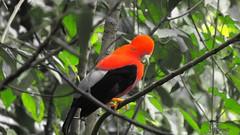 Andean cock-of-the-rock (Rupicola peruvianus) , Birding tour eastern andes (Guayabetal), Bogota Birding (OSWALDO CORTES -Bogota Birding and Birdwatching Co) Tags: fauna colombia sib biodiversidad andeancockoftherock rupicolaperuviana guayabetal rupicolaperuvianus bogotabirding birdingtoureasternandes
