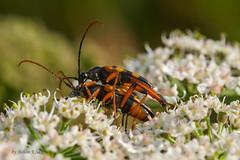 Schlanker Schmalbock (Strangalia attenuata) bei der Paarung (AchimOWL) Tags: macro nature animals insect wildlife natur sigma makro insekt tier kfer gx7