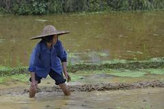 Rice Fields - Yangshuo, China (Joao Eduardo Figueiredo) Tags: china woman mountain water hat nikon women asia rice yangshuo fields farmer agriculture guangxi joaofigueiredo nikond800e joaoeduardofigueiredo