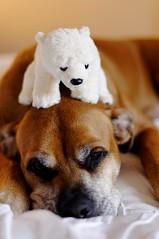Kaia.  Plus friend (Bendigoish) Tags: bear dog toy bed polar kaia mournful