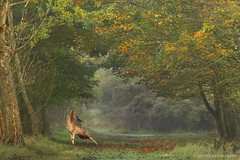 Making his mark (hvhe1) Tags: autumn wild holland male nature sunrise wildlife herfst thenetherlands deer antlers fallowdeer damhirsch awd rut daim damadama damhert amsterdamsewaterleidingduinen specanimal ruttingseason hennievanheerden bronst hvhe