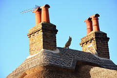 Owl (John A King) Tags: road this was cottage straw ridge owl left has thatcher recently upton longeared the bexleyheath rethatched