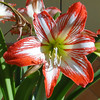 Lilum Matris (Marco Di Fabio) Tags: flowers light red sun white plant flores flower verde green planta blanco luz sol ginger petals rojo lily flor mother mama mater talent lirio mamma fiori sole fiore rosso petali bianco luce madre talento giglio regale pianta petalos gingerlily matris lilum lilumregale
