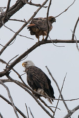 Bald Eagle and Red Tailed Hawk share a roost