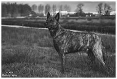 Proud as a peacock (Nils5481) Tags: bw dog white black dogs dutch shepherd hond zwart wit barros herder honden hollandse