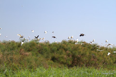 Air Traffic, Okavango Delta (Zsuzsa Por) Tags: africa nature animal wildlife safari botswana moremi animalplanet okavango okavangodelta wildlifeafrica canonef2470mmf28 canonistas canoneos7d canonef70200mmf28lisusmii