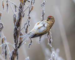 Redpoll-3 (Andrew Haynes Wildlife Images) Tags: bird nature frost brandon warwickshire redpoll