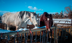 pair of friendly horses (Cait Sumfin) Tags: winter friends horses horse snow beautiful animals happy colorado colorful friendly curious sweethearts equine snoweater