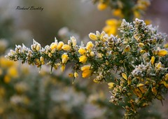Flowers in the frost (Richard Buckley) Tags: flowers field bush flora frost shrub gorse