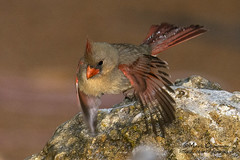 Cardinal in Flight (countryphotoguy) Tags: art nature birds female photography wildlife birding prints wildlifephotographer dailyshot dailies photograper february23 northerncardinal 2015 shotoftheday wildlifeart markchapman wildcreatures naturephotographer wildlifeprints countryimages mydailyshot