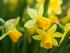 Daffodils (seetyoong) Tags: flowers zeiss canon 50mm singapore gardensbythebay canoneos5dmarkii 5dmarkii 5d2 makroplanar502ze seetyoong