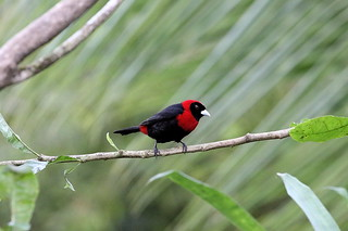 LOU56540  Scarlet-collared Tanager