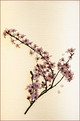Textured Branch (Marcia Fasy) Tags: flowers blossoms plum plumblossoms project365