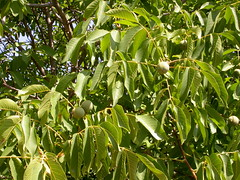 Juglans regia (pelayobotanica - www.estepasyhayedos.es) Tags: spain plantas nogal aragn juglans juglansregia campodeborja floraibrica juglandceas barrancodeambelyzonadelvrticeestella fanerfito