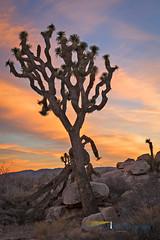 Joshua Tree Sunset (Northern Light Photography by Robert Byrne) Tags: california ca sunset tree rock landscape desert joshuatree twentyninepalms joshuatreenationalpark