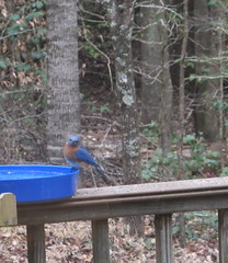 virginia feeder february easternbluebird 2015 sialiasialis
