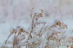 February 21, 2015 - Snow covered grasses. (Tony's Takes)