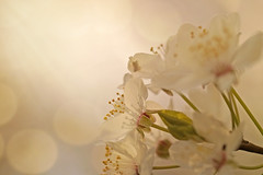 First Blush (charhedman - on and off) Tags: flowers white macro spring backyard bokeh plumblossoms