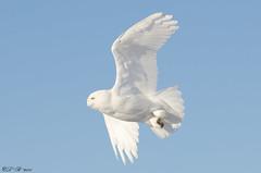 SnowY-white in flight (PerfumeG2011 (on and off )) Tags: canada bird nature birds nikon québec owl birdsinflight owls birdsofprey snowyowl mirabel nikond7000 mirabelquébec lightroom5 officialbirdofquébec